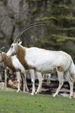 Uzbrajać w rogi oryx Oryx dammah lub Obraz Royalty Free