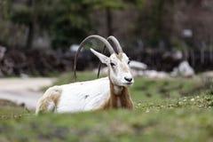 Uzbrajać w rogi oryx Oryx dammah lub Obrazy Royalty Free