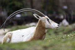 Uzbrajać w rogi oryx Oryx dammah lub Zdjęcie Stock