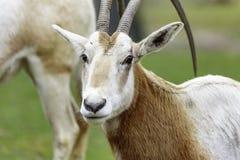 Uzbrajać w rogi oryx Oryx dammah lub Fotografia Stock