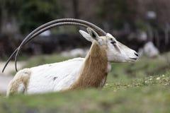 Uzbrajać w rogi oryx Oryx dammah lub Fotografia Royalty Free