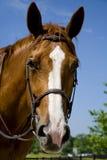 uzda konia nosić zdjęcie stock