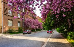 Streets of Uzhgorod in cherry blossom Royalty Free Stock Photo