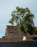 Uzhhorod Castle. Old linden-tree in front of the wall of Uzhhorod Castle, Ukraine. Built in ХI century Royalty Free Stock Images