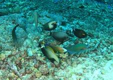 Vária alimentação de peixes em corais inoperantes Fotografia de Stock Royalty Free