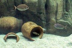 Vária espécie dos peixes e um Muraena escondendo helena no ` do cretaquarium do ` em Heraklion, Creta fotografia de stock