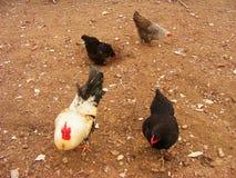 Várias galinhas ar livre que alimentam na exploração agrícola Foto de Stock Royalty Free