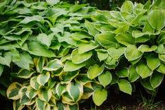 Vário anfitrião no jardim do verão, grande planta para pontos obscuros com folha decorativa Fotografia de Stock