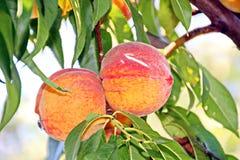 Vários frutos e bagas, maçãs, pêssegos, ameixas, uvas, morangos que crescem no jardim imagem de stock