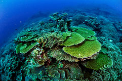 Vários recifes de corais duros em Banda, foto subaquática de Indonésia Foto de Stock Royalty Free