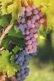 Vários tipos de uvas em uma videira Fotos de Stock Royalty Free