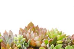 Vários tipos vermelhos e fundo suculento verde das plantas imagens de stock