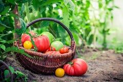 Vários tomates na estufa imagens de stock royalty free