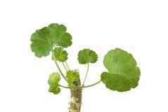 Vástago de la planta del geranio con las hojas Imágenes de archivo libres de regalías