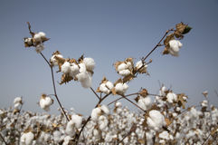 Vástago del algodón Fotografía de archivo libre de regalías