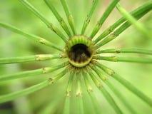 Vástago hueco de la planta de la cola de caballo con las hojas radiales Foto de archivo libre de regalías