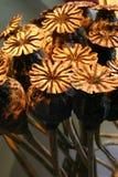 Vástagos de la amapola Foto de archivo libre de regalías