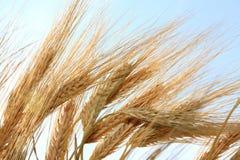 Vástagos del trigo. foto de archivo