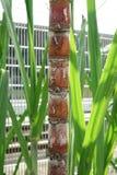 Vástagos y hojas de la caña de azúcar Imagenes de archivo
