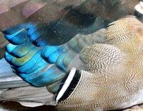 Váyase volando las plumas del pato de mandarín con muy claro en detalles, beaut Imagen de archivo