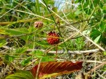 Vésca för Fragà ¡ ria som omges av växter arkivbilder