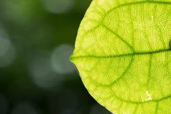 Vão da folha verde Fotografia de Stock Royalty Free