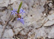 Väcka av skogen 4 för snödroppe på våren arkivfoto