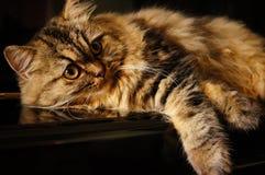 Väckt katt Royaltyfri Foto