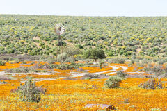 Väderkvarn i ett fält av apelsinen och gula lösa blommor Royaltyfria Bilder