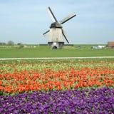 Väderkvarn med tulpanfältet Fotografering för Bildbyråer