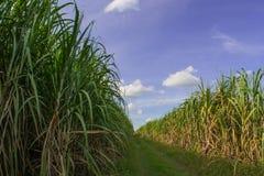 Väg bland sockerrörfält med blå himmel Arkivfoto