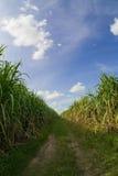 Väg bland sockerrörfält med blå himmel Arkivfoton