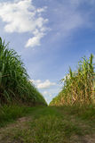 Väg bland sockerrörfält med blå himmel Fotografering för Bildbyråer