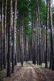 Väg för pinjeskog A för skog för sagagranträd lantlig till och med a Royaltyfria Foton