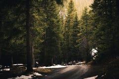 väg för skogkohmak Arkivbilder