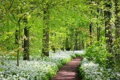 Väg i skogen och den blommande lösa vitlöken (Alliumursinum) i Stochemhoeve, Leiden, Nederländerna Fotografering för Bildbyråer