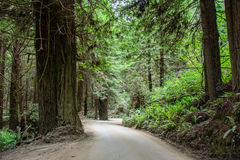 Väg i skogredwoodträdnationalparken, Kalifornien USA Royaltyfria Bilder