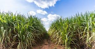 Väg i sockerrörlantgård Royaltyfria Bilder