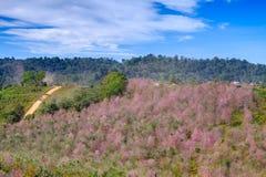 Väg till det rosa blommafältet i berg med blå himmel på Thailand Royaltyfri Fotografi