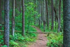 Vägen äger rum i en pinjeskogsommartid Arkivfoto
