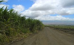 Vägen mellan klart att hugga av och växande redan Sugar Cane Royaltyfria Bilder