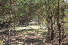 Vägen till den smala banan för skog som tänds av mjukt vårsolljus Skogv?rnatur royaltyfri foto