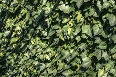 Vägg av den gröna murgrönan Hederaspiral Original- textur av naturlig grönska Bakgrund av eleganta sidor arkivbild