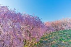 Vägg av den körsbärsröda blomningen Royaltyfria Bilder