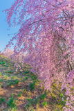 Vägg av den körsbärsröda blomningen Royaltyfri Fotografi