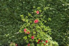 Vägg av murgrönan och blommor Arkivbilder