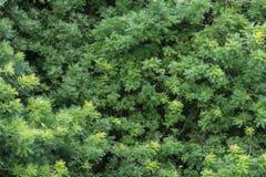 Vägg av nya gröna sidor av det kinesiska Pistaciaträdet Royaltyfria Foton
