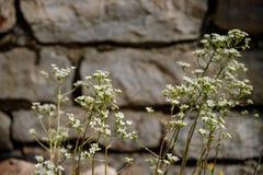 Vägg av stenen som broderas med en växt med liten bakgrund för vita blommor fotografering för bildbyråer