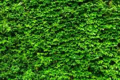 Vägg för grön växt arkivbilder