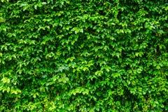 Vägg för grön växt fotografering för bildbyråer